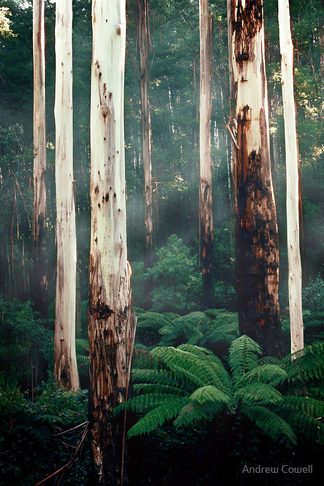 Otway Gums by Andrew Cowell