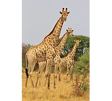 Giraffe Symmetry - African Wildlife Background Photographic Print
