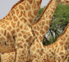 Giraffe Symmetry - African Wildlife Background Sticker