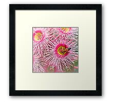 Bee on gum blossom Framed Print