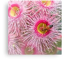 Bee on gum blossom Canvas Print