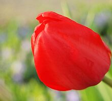 Red Tulip About to Open by Kathleen Brant