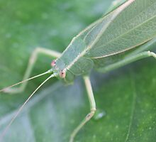 Leaf Katydid by C B