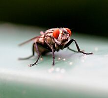 Flesh Fly by Mark Snelson