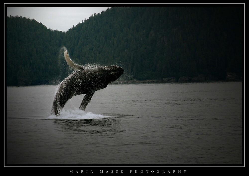 Humpback Whale - Alaska by Maria Masse
