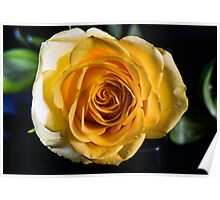 Backlit Yellow Rose Poster