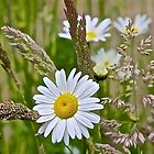 A Daisy and Grasses by John Butler