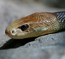 Coastal Taipan 1 by Mark Snelson