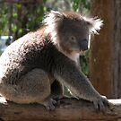 Koala in situ by Jeremy Mawson