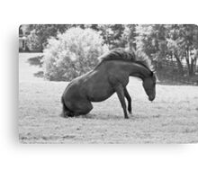 The rarest sight ever captured of a horse getting up. Canvas Print