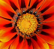 Fire Daisy by Mark Snelson