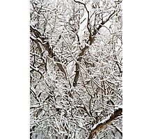 Spindly Snow Gums under fresh snow Photographic Print