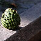 Pine Fruit by tmcncs