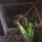 Corn by Tim Webster