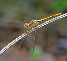 Yellow Dragonfly 1 by Mark Snelson