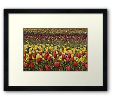 Red And Yellow Tulips Framed Print