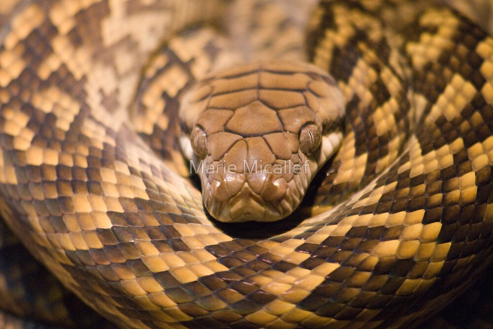 Coiled Snake by Shutterbug