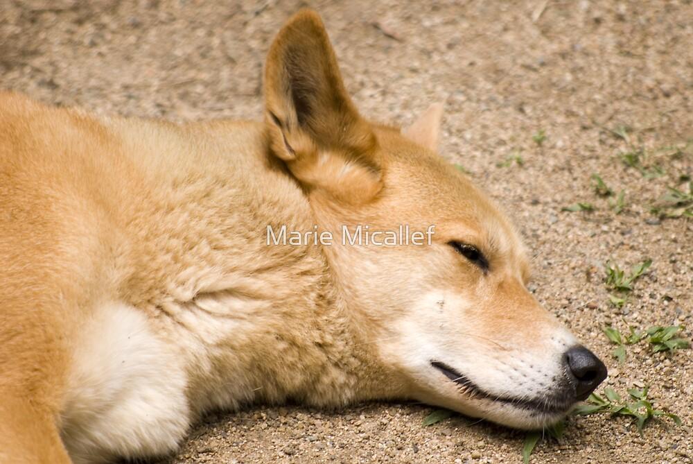 Dingo by Shutterbug