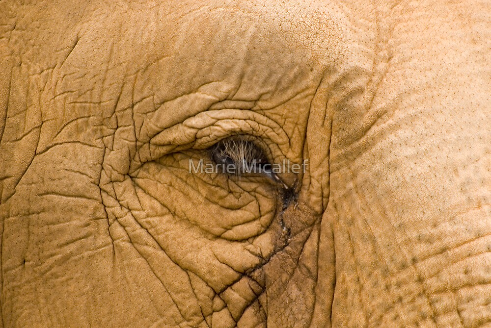 Elephant Eye by Shutterbug