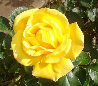 yellow rose by elizabethrose05