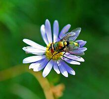Greenbottle Fly on Flower by Mark Snelson