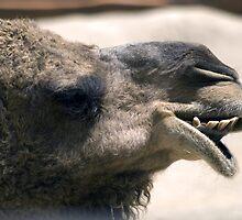 Dromedary Camel by Shutterbug