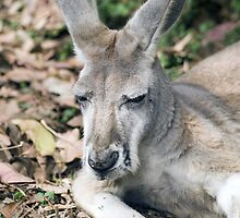 Eastern Grey Kangaroo by Shutterbug