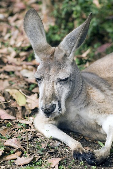 Eastern Grey Kangaroo by Shutterbug