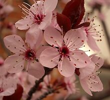 Cherry Blossoms by Mark Mansour