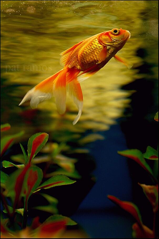 fish by Pat Ramos