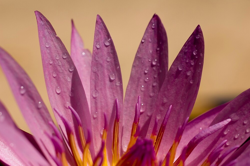 Water Lilly by Timothy Oon