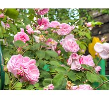 Pink Roses in the Garden Photographic Print