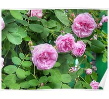 Pink Roses in the Garden 2 Poster