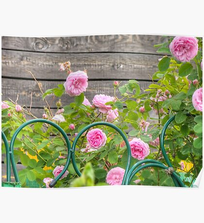 Pink Roses in the Garden 3 Poster