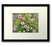 Pink Roses in the Garden 4 Framed Print