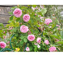 Pink Roses in the Garden 4 Photographic Print