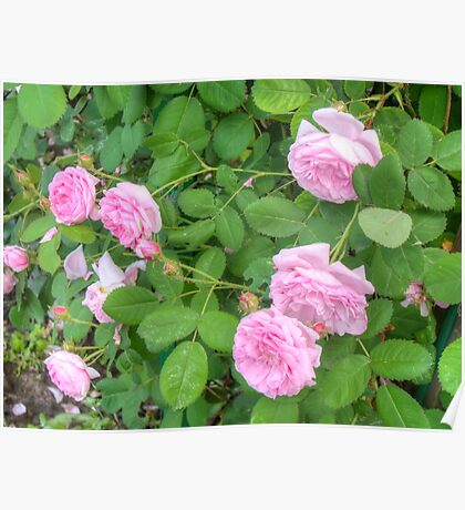 Pink Roses in the Garden 5 Poster