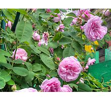 Pink Roses in the Garden 6 Photographic Print
