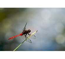 Red Dragonfly 2 Photographic Print