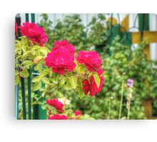 Red Climbing Roses 3 Canvas Print