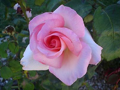 rosy by elizabethrose05