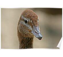 Australian Wood Duck Poster