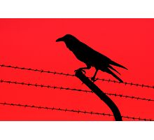 Barbed Wire Crow Photographic Print