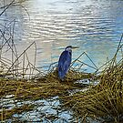 Lone Heron by © Kira Bodensted