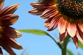 Sunflower summer by bookster
