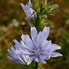 Chickory by AnnDixon