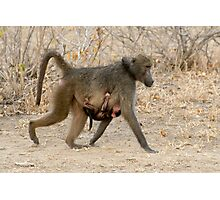 Baboon Family COMING Photographic Print