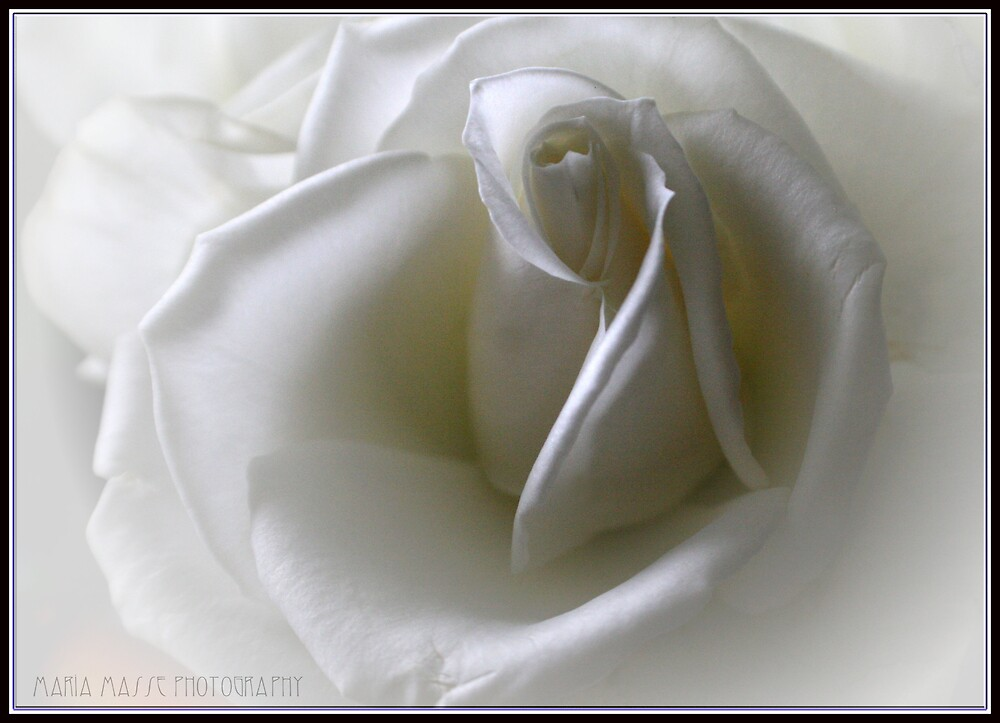 Just a rose by Maria Masse