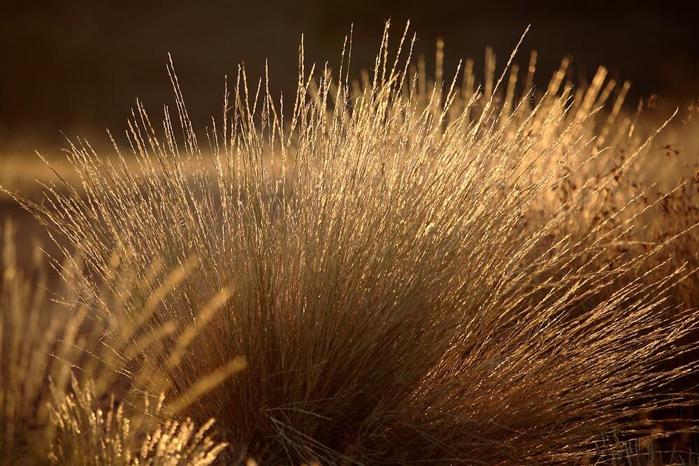 Golden grass by Thomas Kress