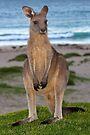 Kangaroo by Darren Stones